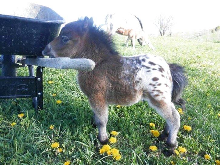 caballos miniatura de segunda mano